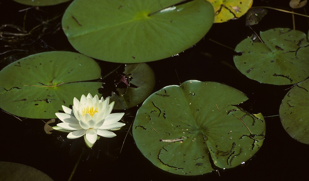 Water Lilly Pads by bertspix