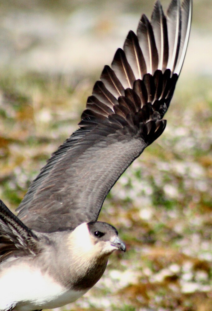 Arctic Brown Skua - wings spread by BenGartrell