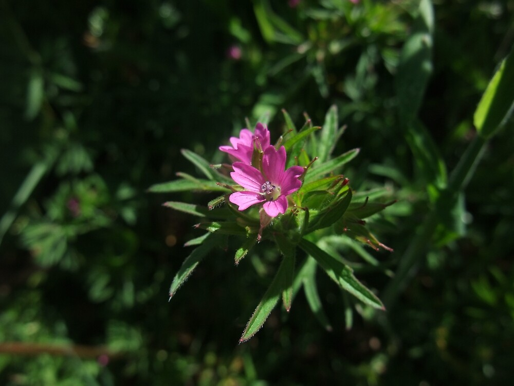 Cut-leaved Cranesbill (Geranium dissectum) by IOMWildFlowers