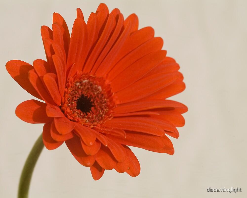 Daisy by discerninglight