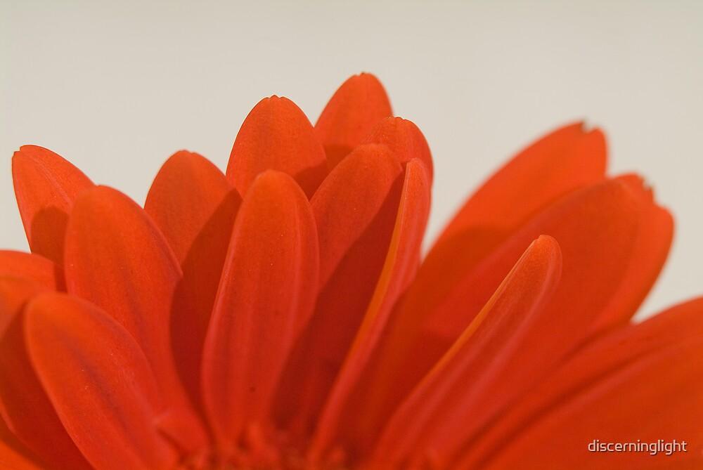 Daisy Petals by discerninglight