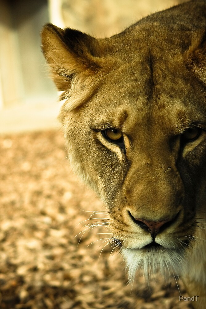 Female Lion  by P&T Photography
