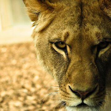 Female Lion  by PandT