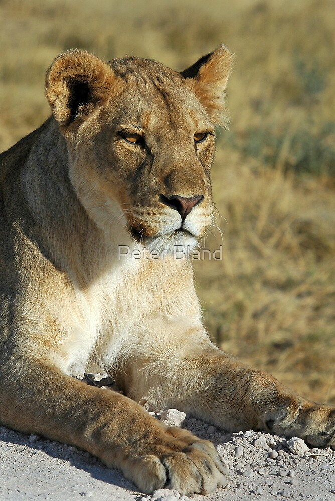 Lioness, Etosha, Namibia. by Peter Bland
