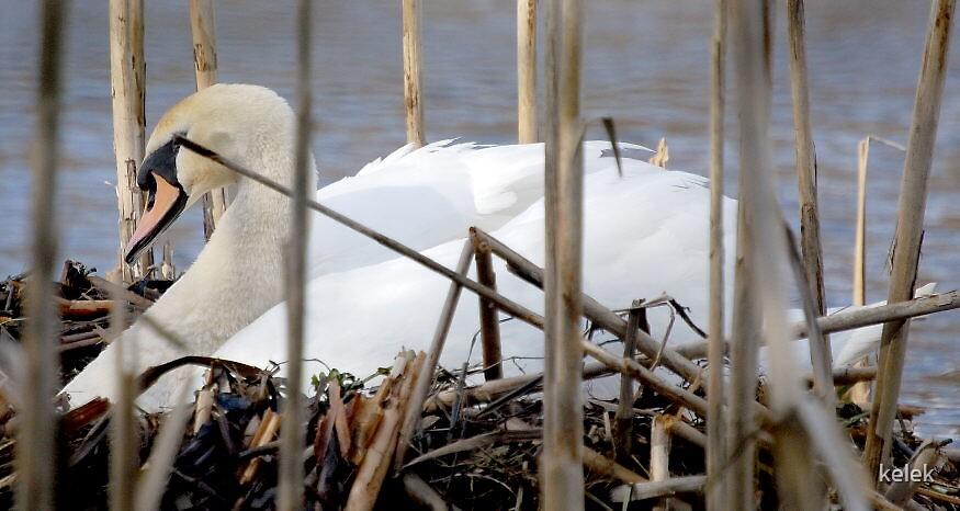 Mute Swan on Nest 1 by kelek