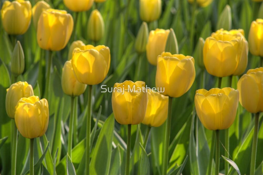 Yellow Tulips by Suraj Mathew