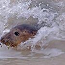 Seal by Peter Bellamy