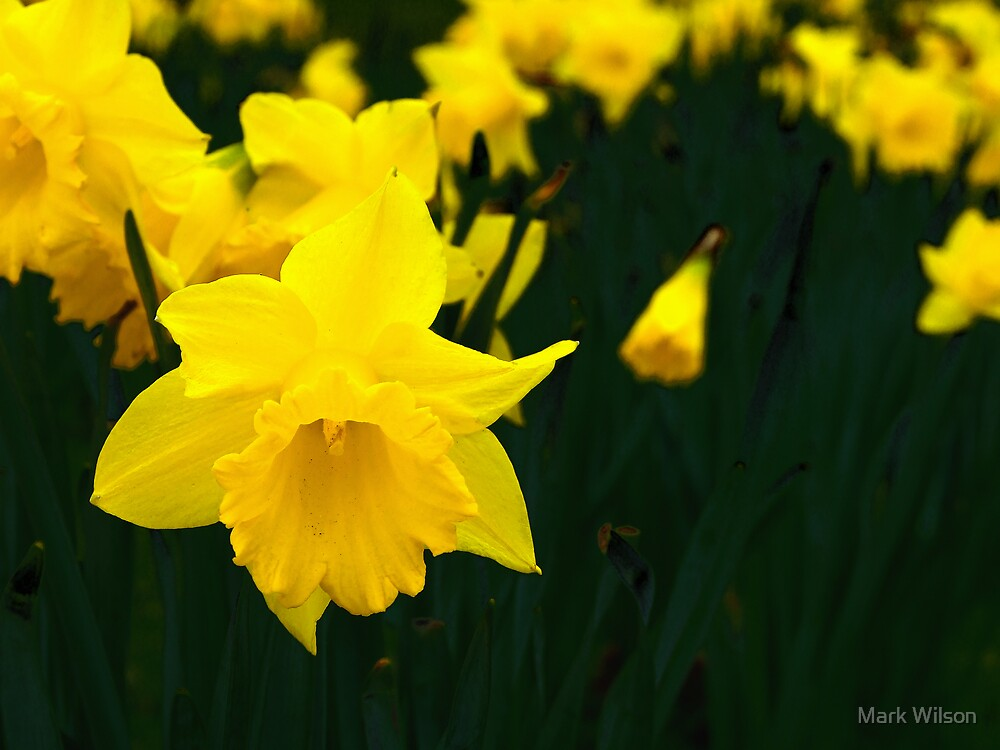 Spring Narcissus by Mark Wilson