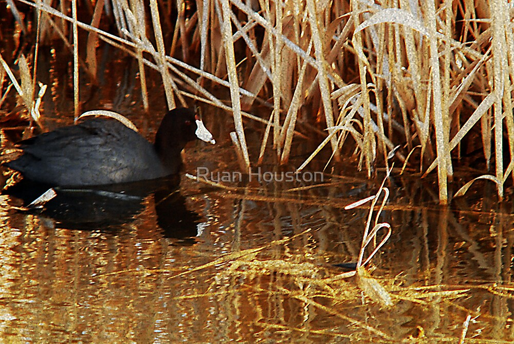 American Coot in Reeds by Ryan Houston