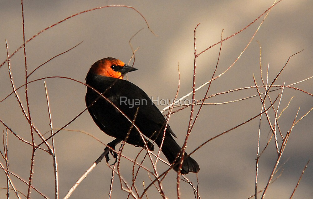 Yellow-headed Blackbird by Ryan Houston
