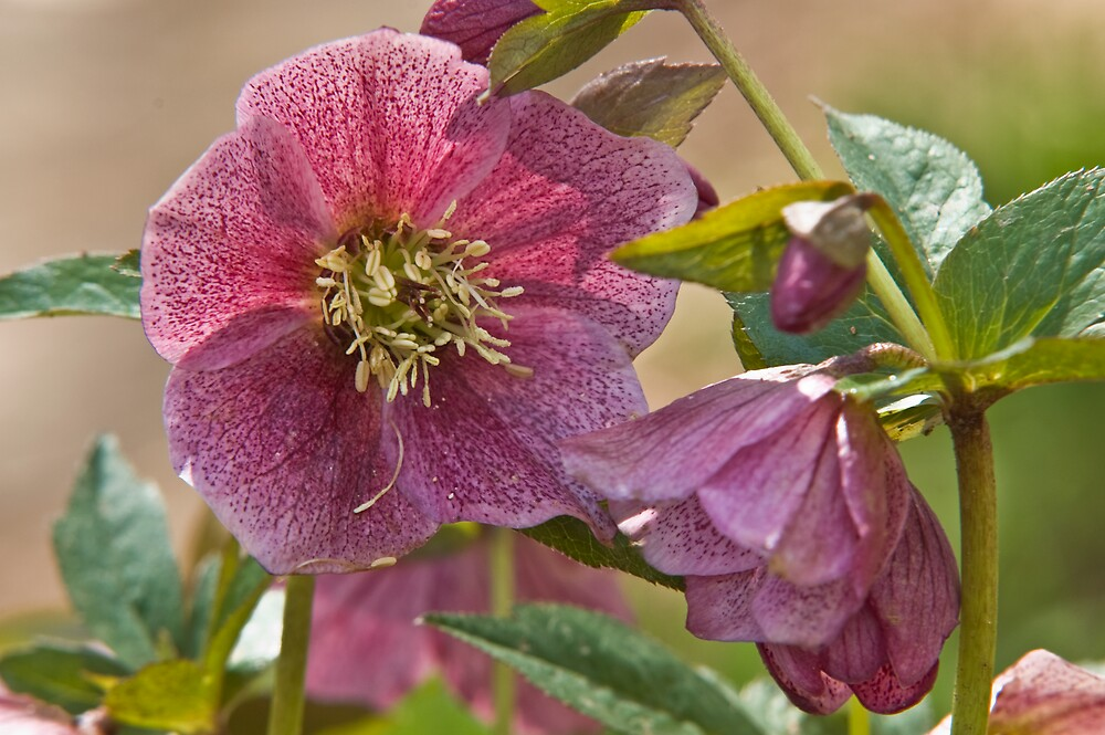 Lenten Rose by Duane Fulk