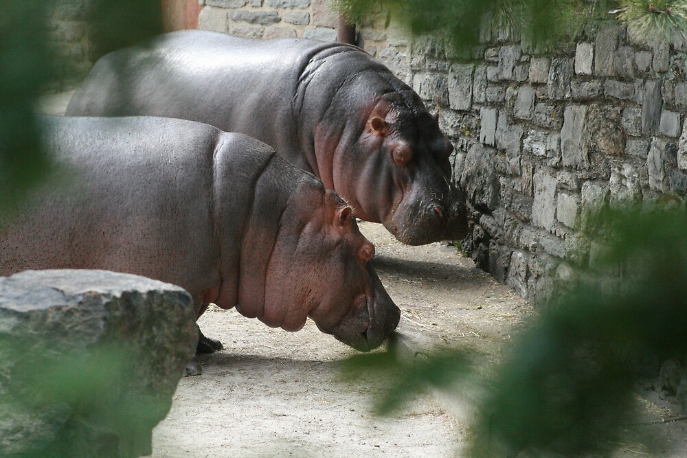 Hippo's at the Philly Zoo by Gabrielle Gigliotti
