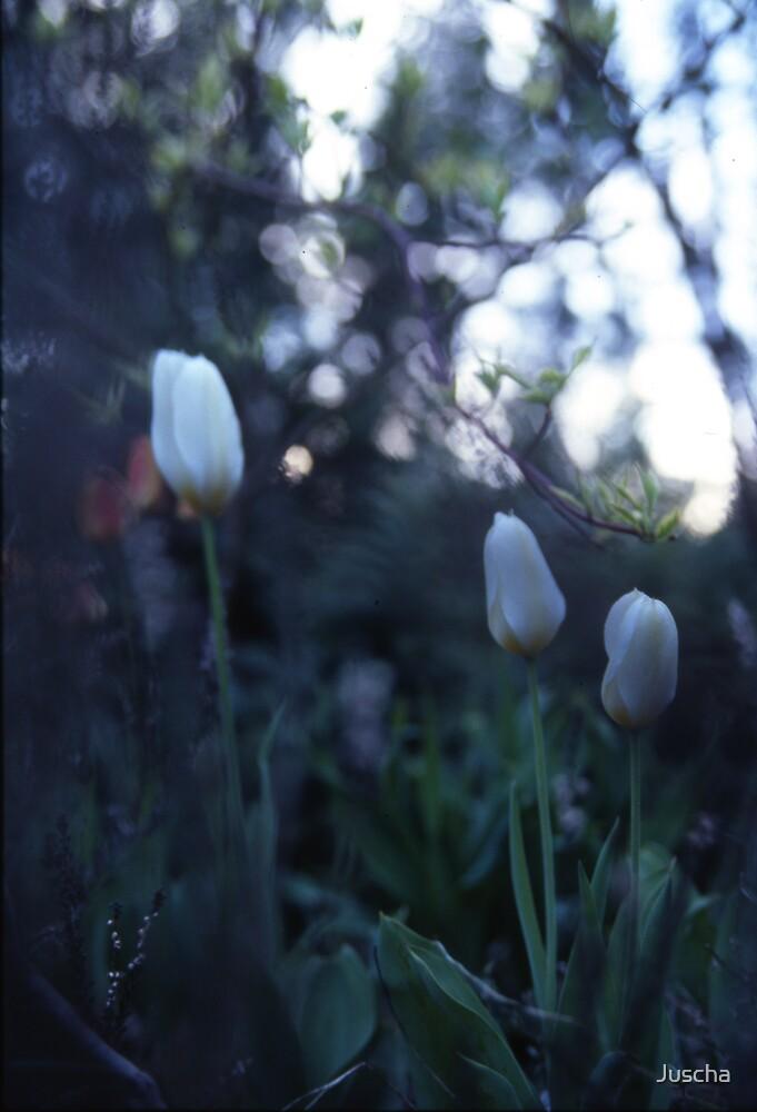 Tulip dusk by Juscha