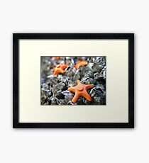 Seastars Framed Print