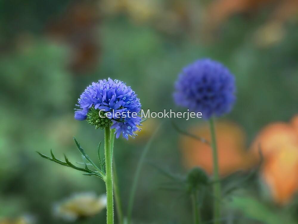 Blue twins (Gilia capitata) by Celeste Mookherjee