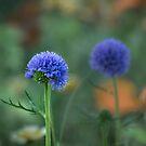 Blaue Zwillinge (Gilia capitata) von Celeste Mookherjee