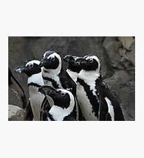 African Black-footed Penguin Photographic Print