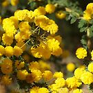 Acacia Yellow by kalaryder