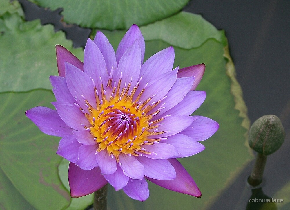 Waterlilly by robnwallace