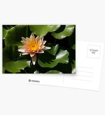 Exotic Colors - A Soft Coral Waterlily Postcards