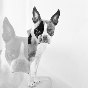 Meryl the Boston Terrier by zuluspice