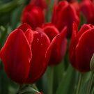 Vibrant Red Spring Tulips by Georgia Mizuleva
