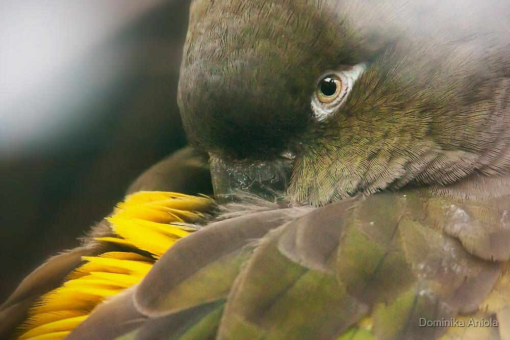 Burrowing Parrot by Dominika Aniola