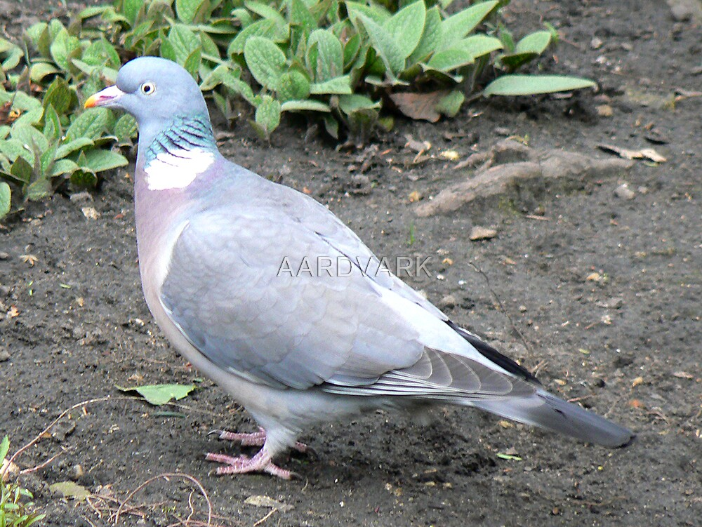 A Pidgeon by AARDVARK