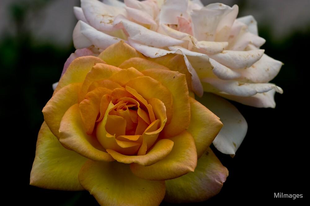 Roses Macro by MiImages