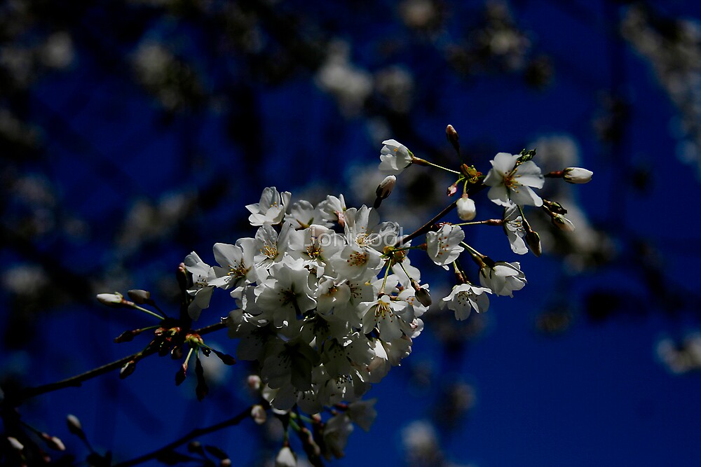 Blooming Cherry Tree by Jonicool