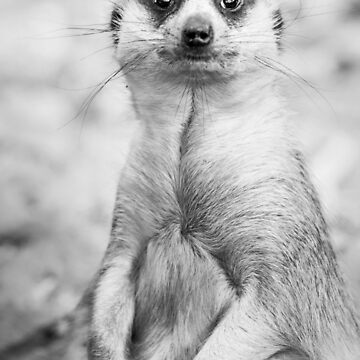 Meerkat portrait by domcia