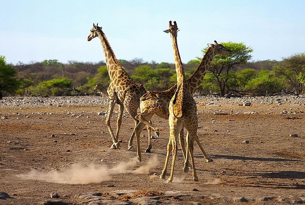 Giraffe at play by Roller