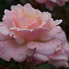Rose and Rain in Pink by Georgia Mizuleva