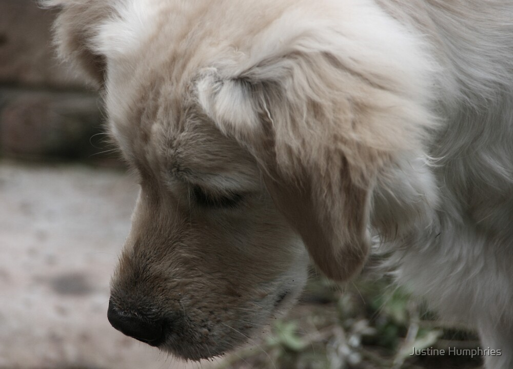 Bumble - Golden Retriever by Justine Humphries