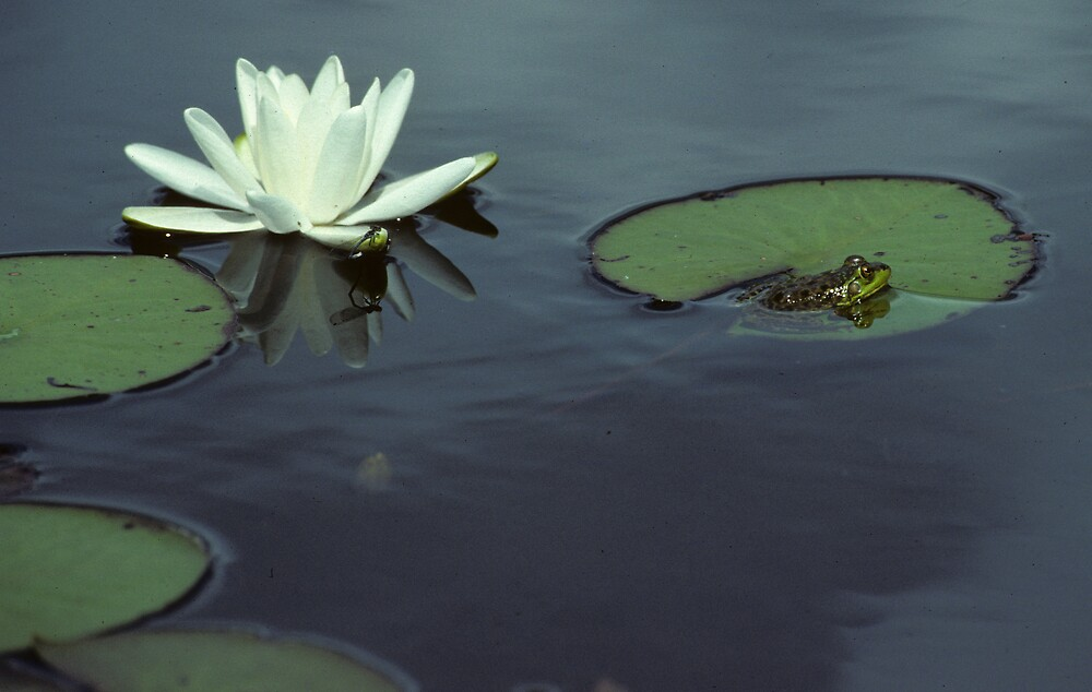 Water Lilly Pad with Frog by bertspix