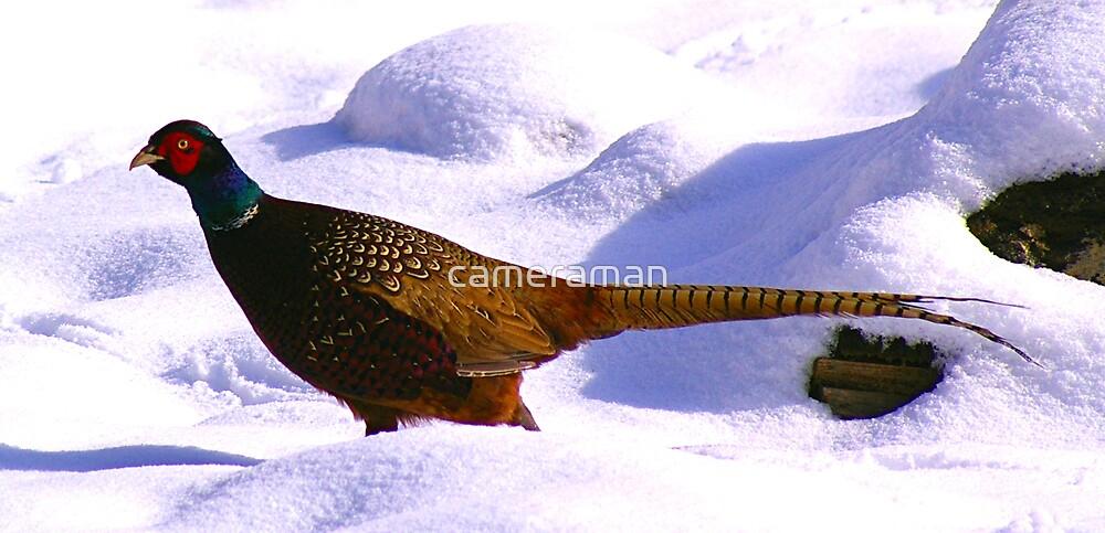 pheasant by cameraman