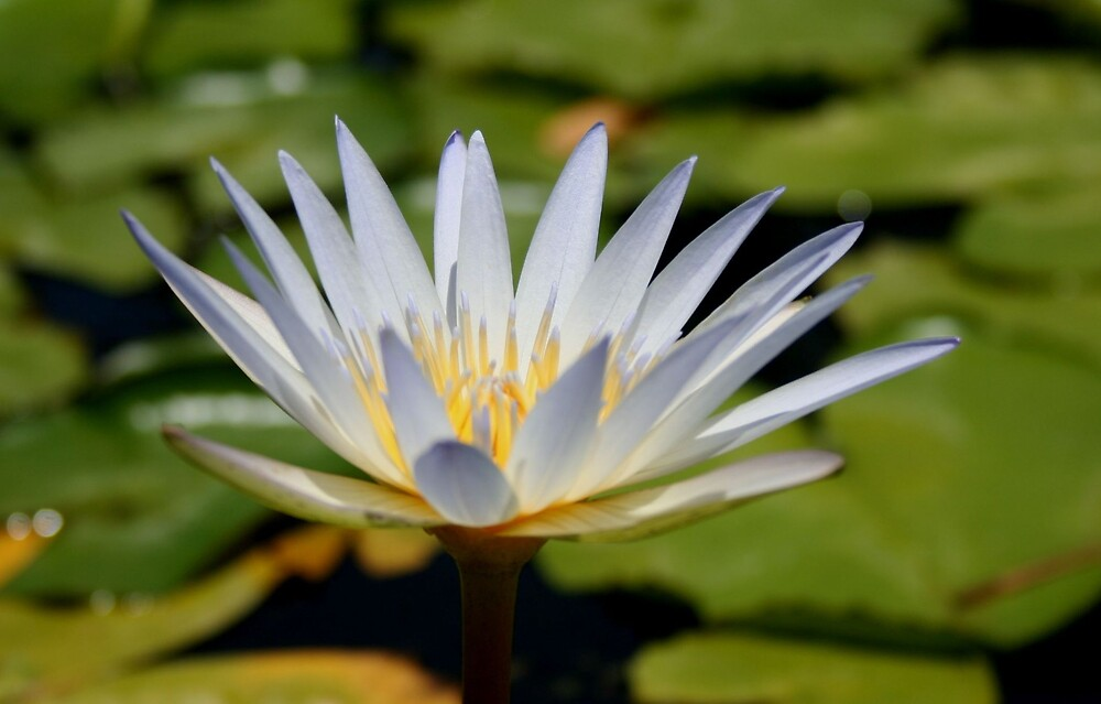 White Water Lilly by Michael Morris