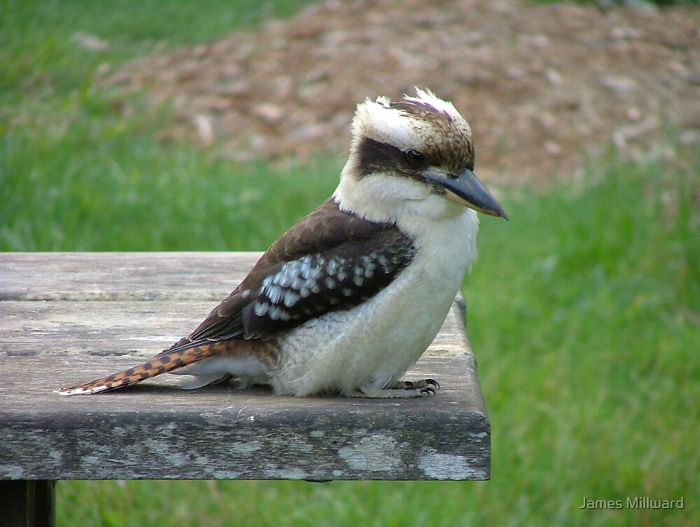 Kookaburra by James Millward