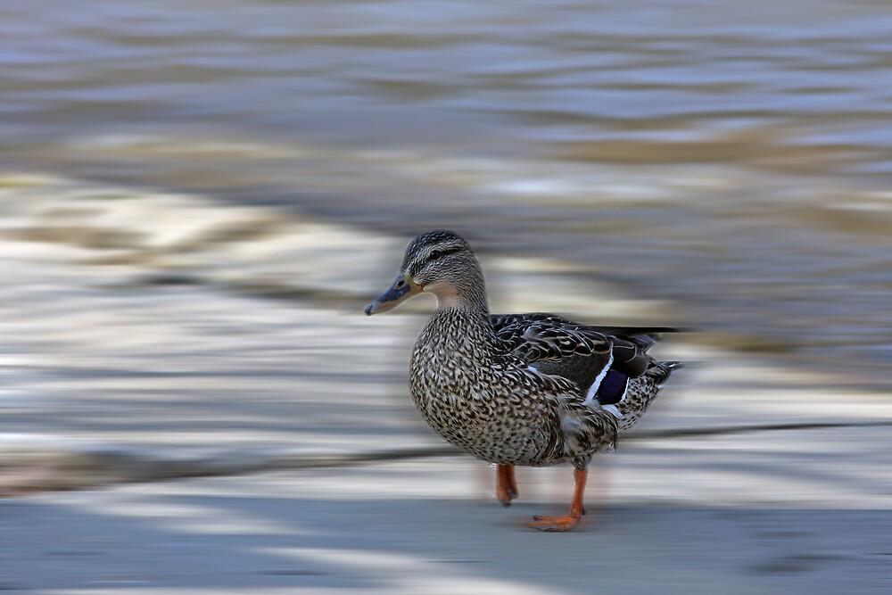 Little Duck Lost by shadyuk