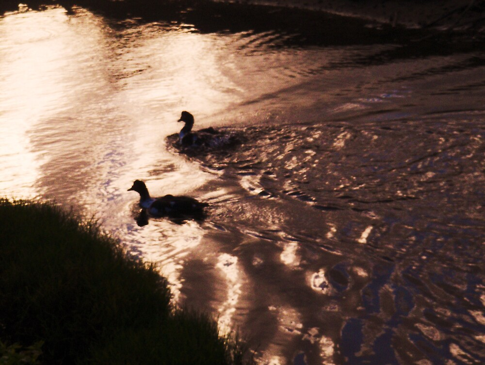 Black and white Muscovy ducks at twilight by Barbara Morrison