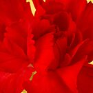 Red Carnation Macro by Sandra Foster