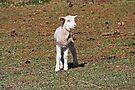 Kleines Lamm verloren von Evita