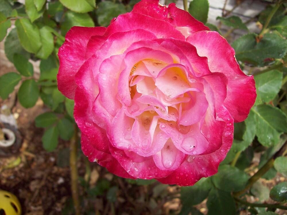 exotic rose by octaviusmiller