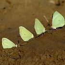 Butterflies in the mud by Fiona Smith