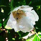 Wild Rose by Shulie1