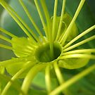 Yellow Gum Blossom by Kathie Nichols