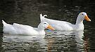 Pekin Duck, South Astralia  by Carole-Anne