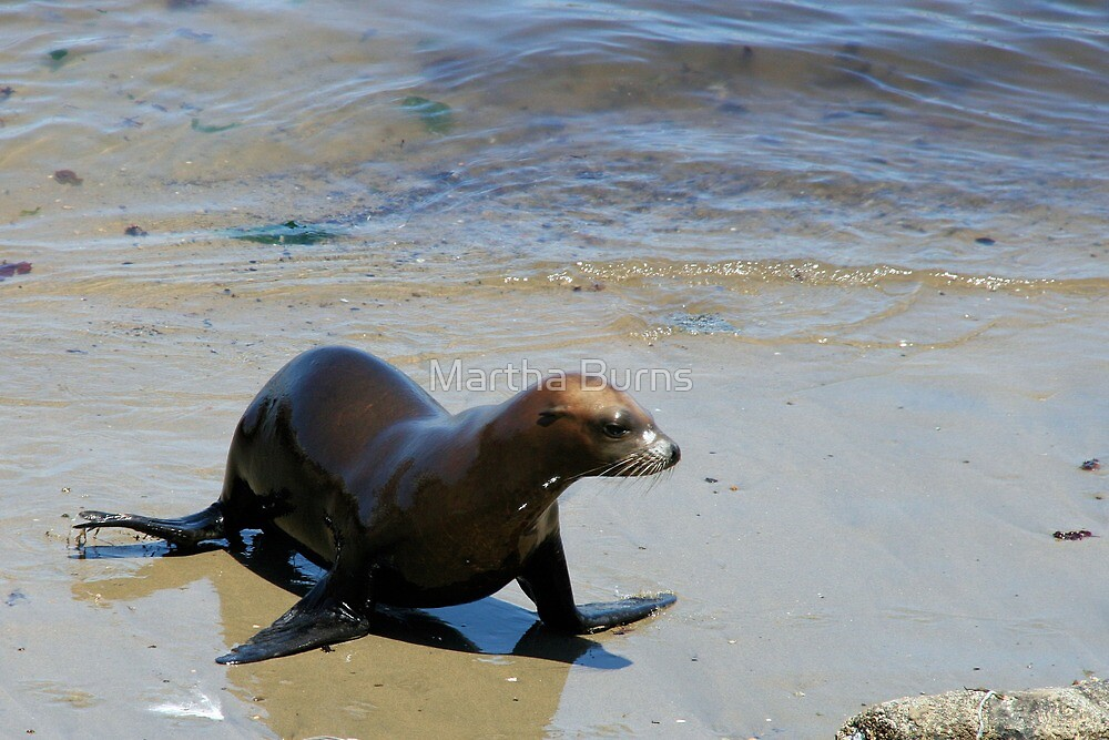 Lone seal  -Monterey Bay by MarthaBurns