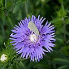 Stokes Aster With White Butterfly by Cynthia48