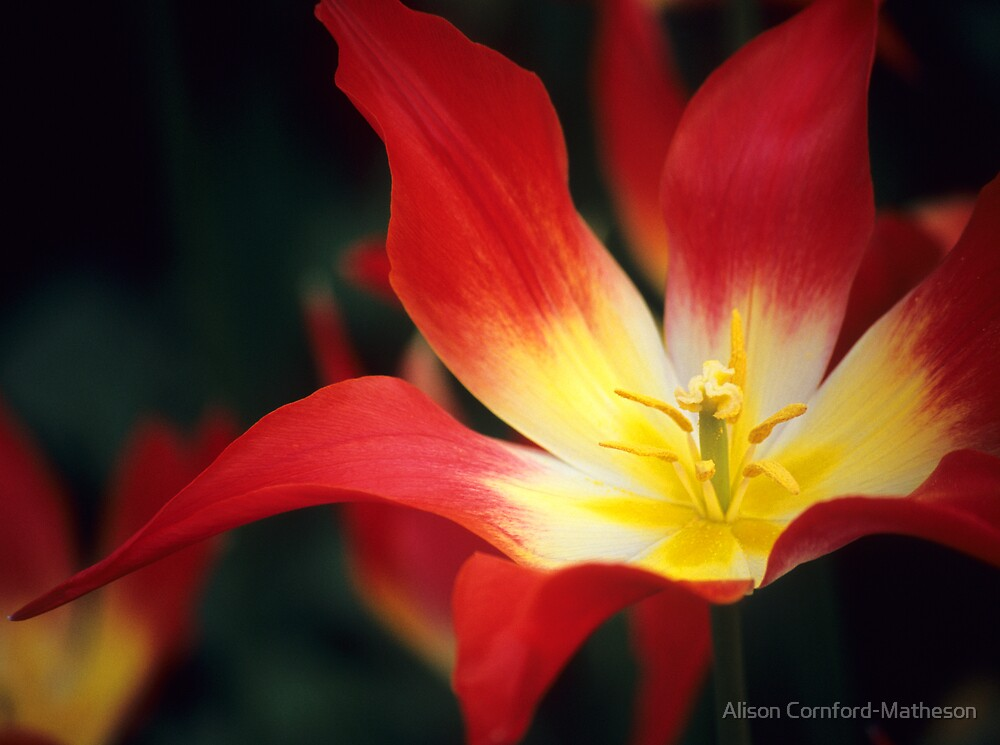 Red Tulip  by Alison Cornford-Matheson
